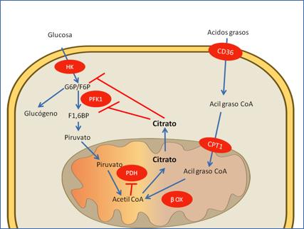 ¿Cómo afecta la diabetes tipo 1 el metabolismo de la glucosa?
