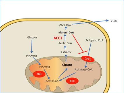 activadores de ampk en diabetes
