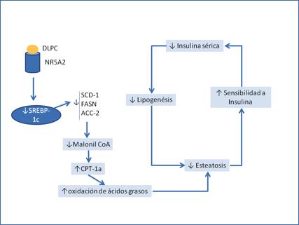 vía de diabetes tipo 2